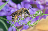 Wild Bees: Photographs by Paula Sharp and Ross Eatman